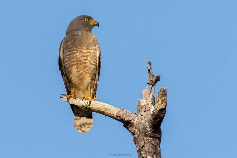Roadside-Hawk